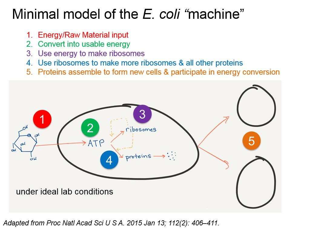 Minimal model of the E. coli