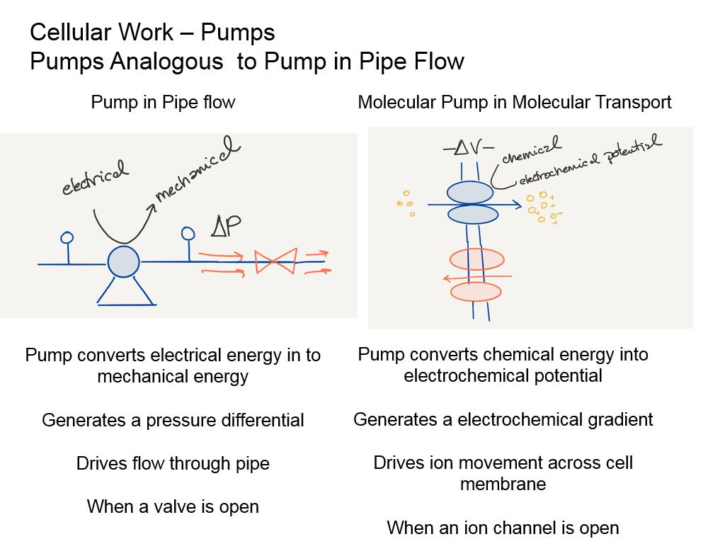 Cellular Work – Pumps