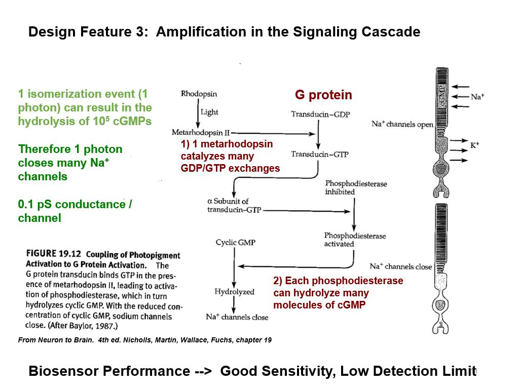 Design Feature 3: Amplification in the Signaling Cascade