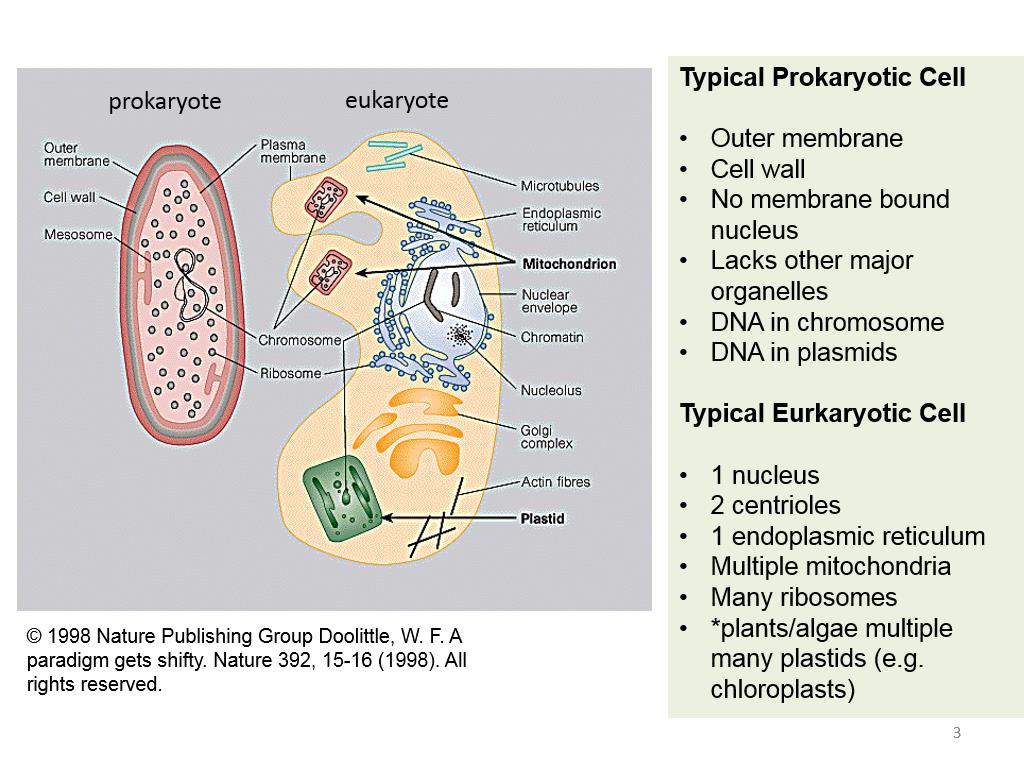 Typical Prokaryotic Cell Typical Eurkaryotic Cell