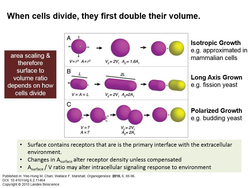 When cells divide, they first double their volume.