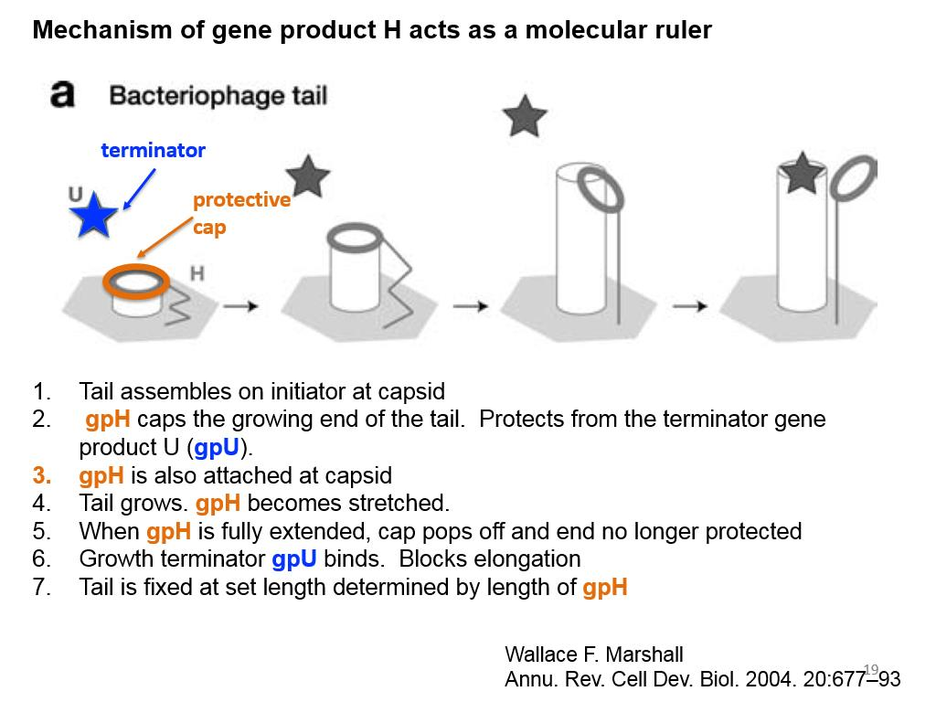 Mechanism of gene product H acts as a molecular ruler