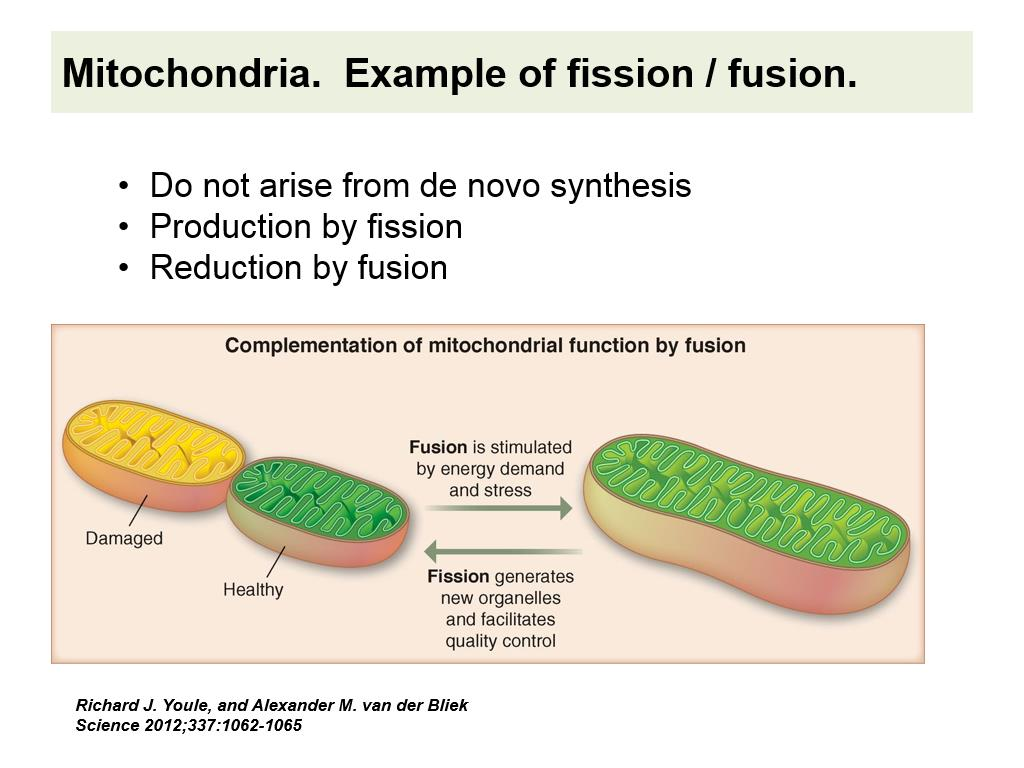 Mitochondria. Example of fission / fusion.