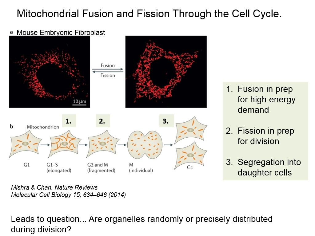 Mitochondrial Fusion and Fission Through the Cell Cycle.