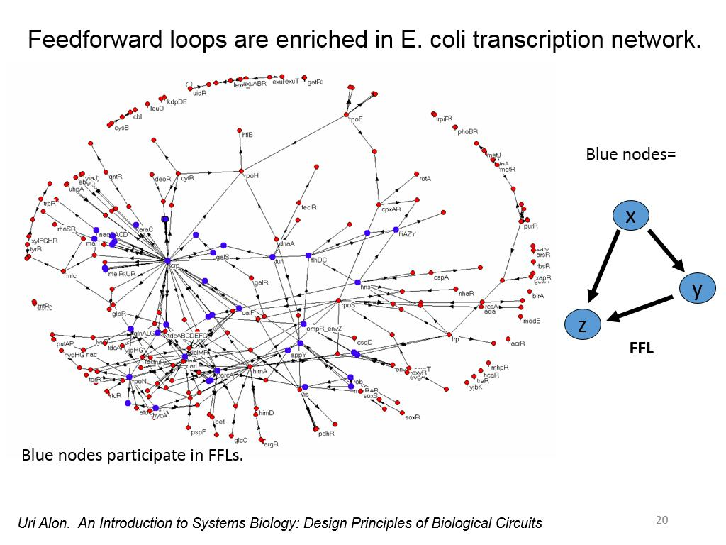 Feedforward loops are enriched in E. coli transcription network.