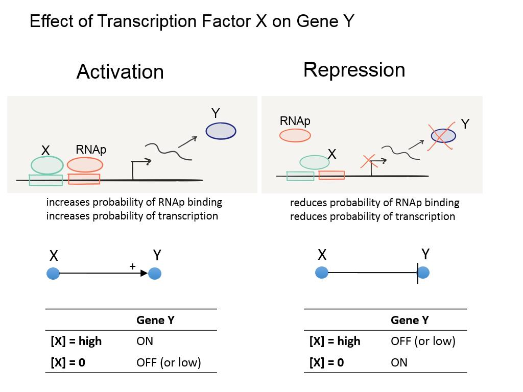 Effect of Transcription Factor X on Gene Y
