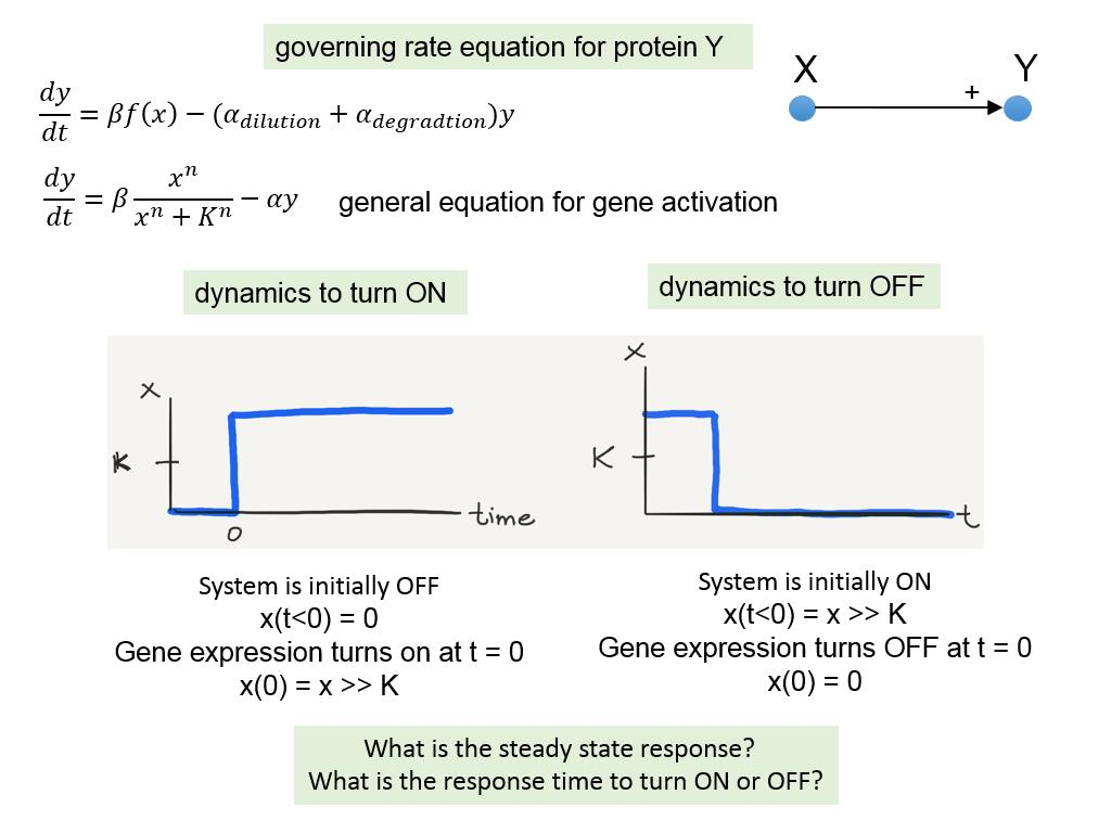governing rate equation for protein Y
