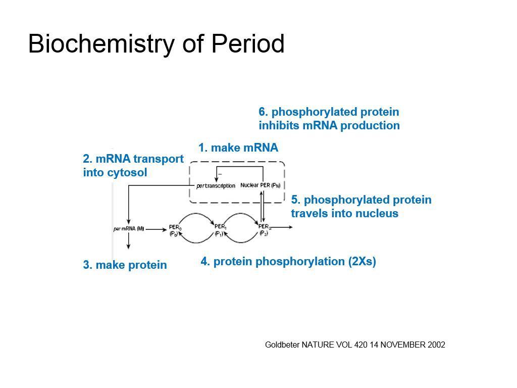 Biochemistry of Period