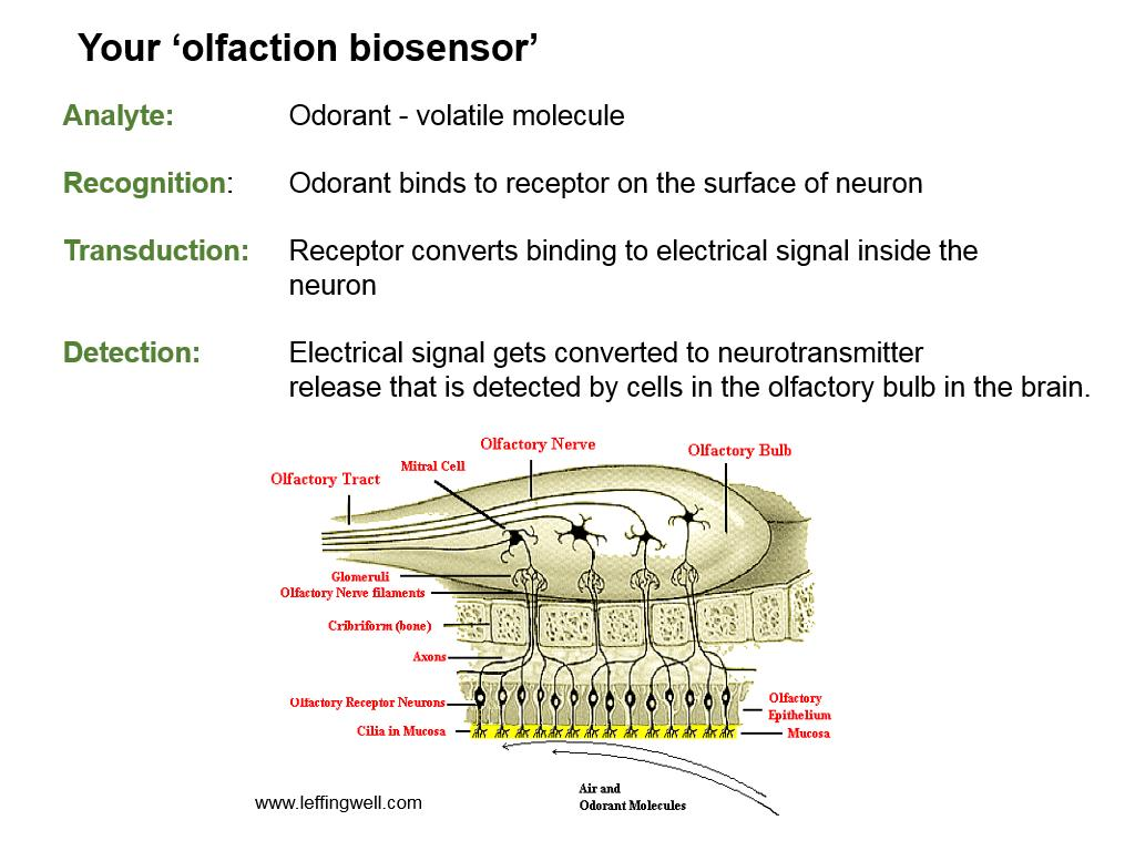 Your 'olfaction biosensor'