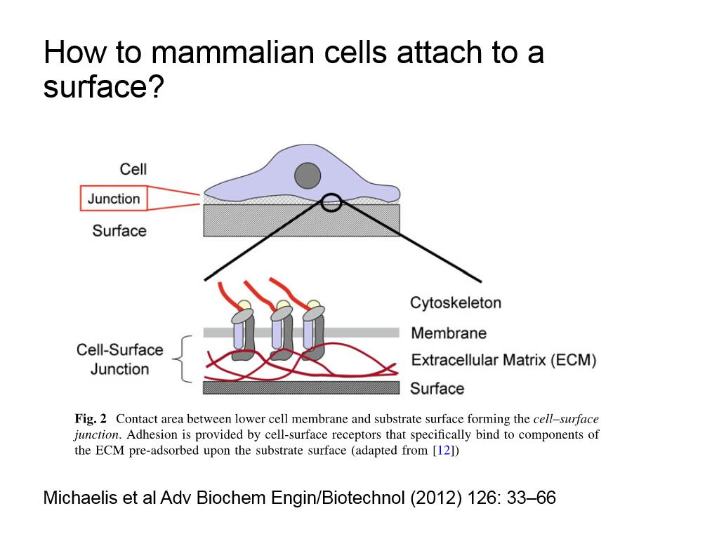 How to mammalian cells attach to a surface?