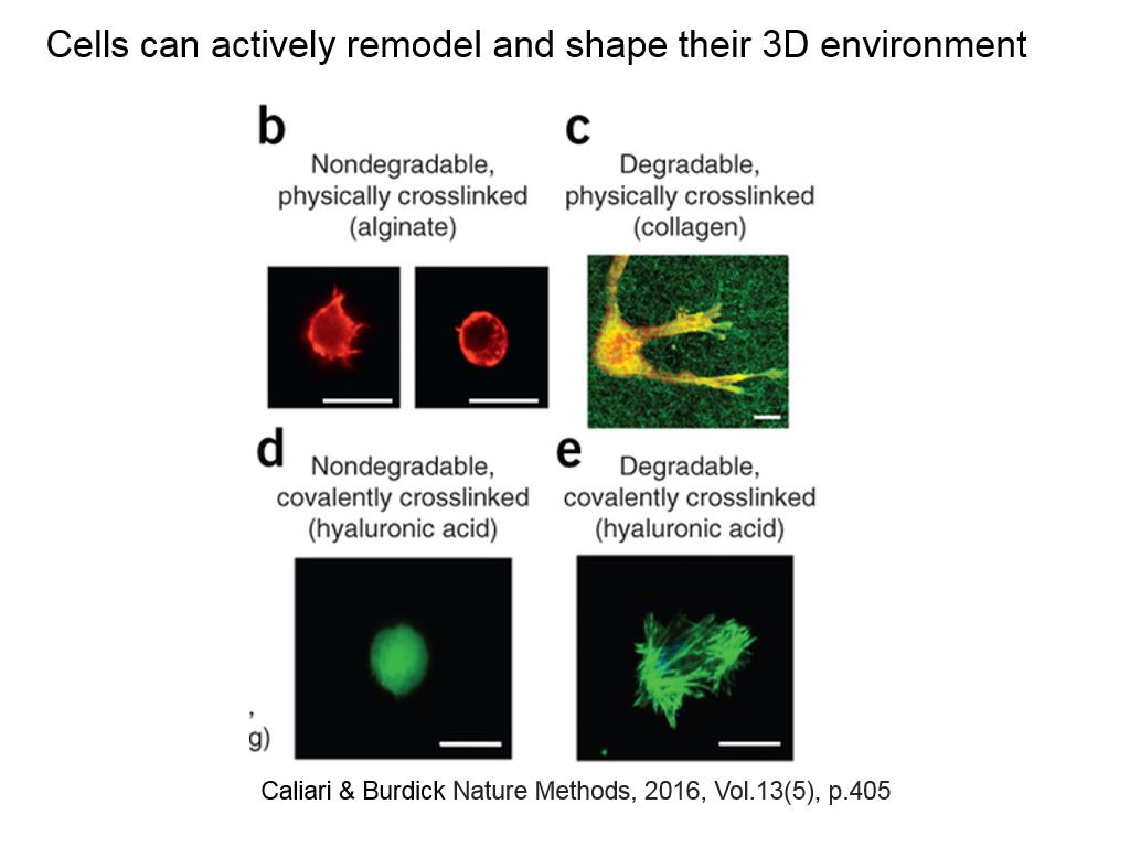 Cells can actively remodel and shape their 3D environment