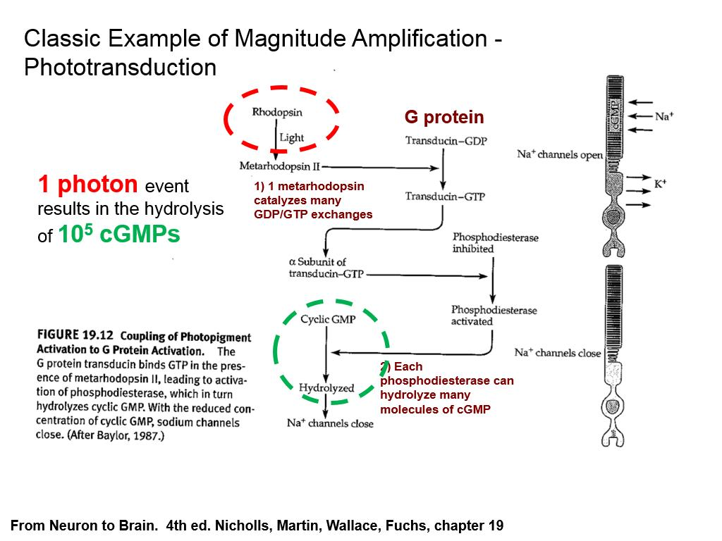 Classic Example of Magnitude Amplification - Phototransduction