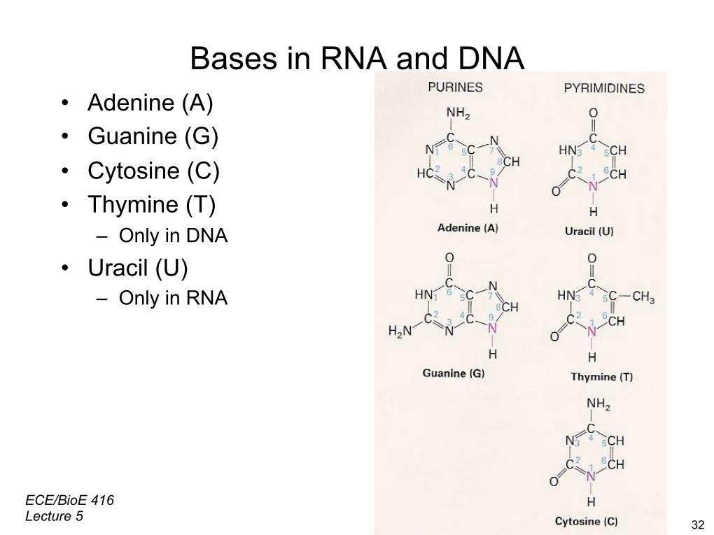Bases in RNA and DNA