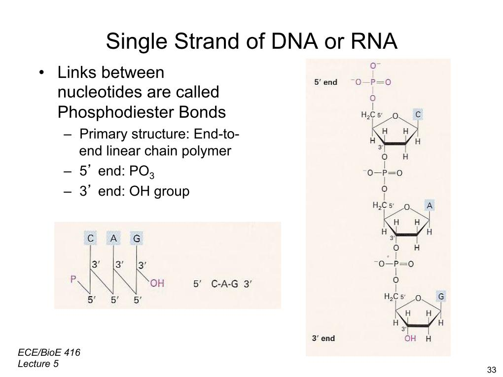 Single Strand of DNA or RNA