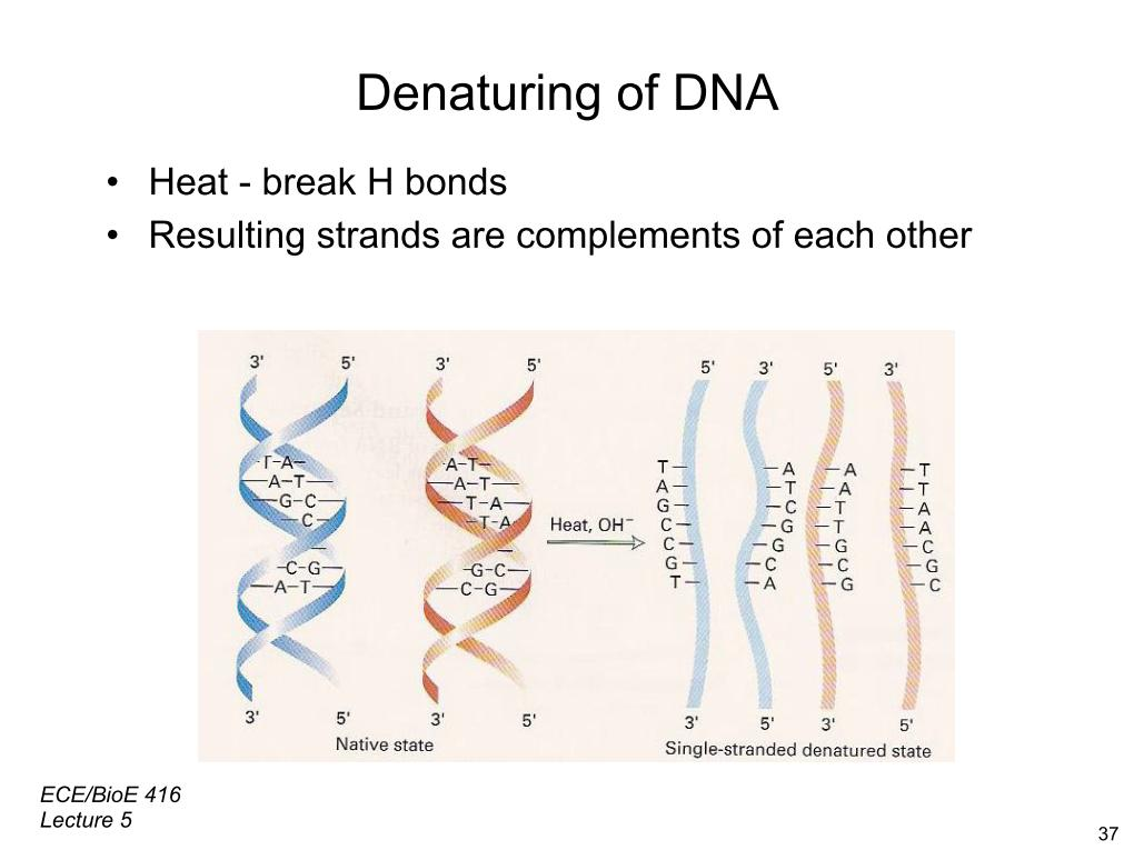 Denaturing of DNA