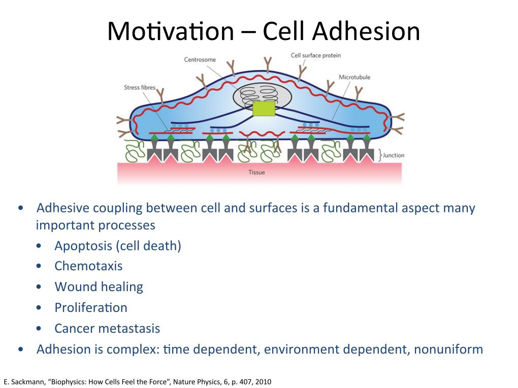 Motivation - Cell Adhesion