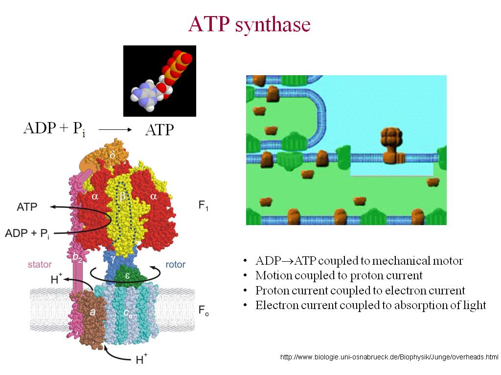 atp synthase the worlds smallest Oxidative phosphorylation the o site changes to l conformation which binds to adp and pi thus atp synthase is worlds smallest molecular motor.