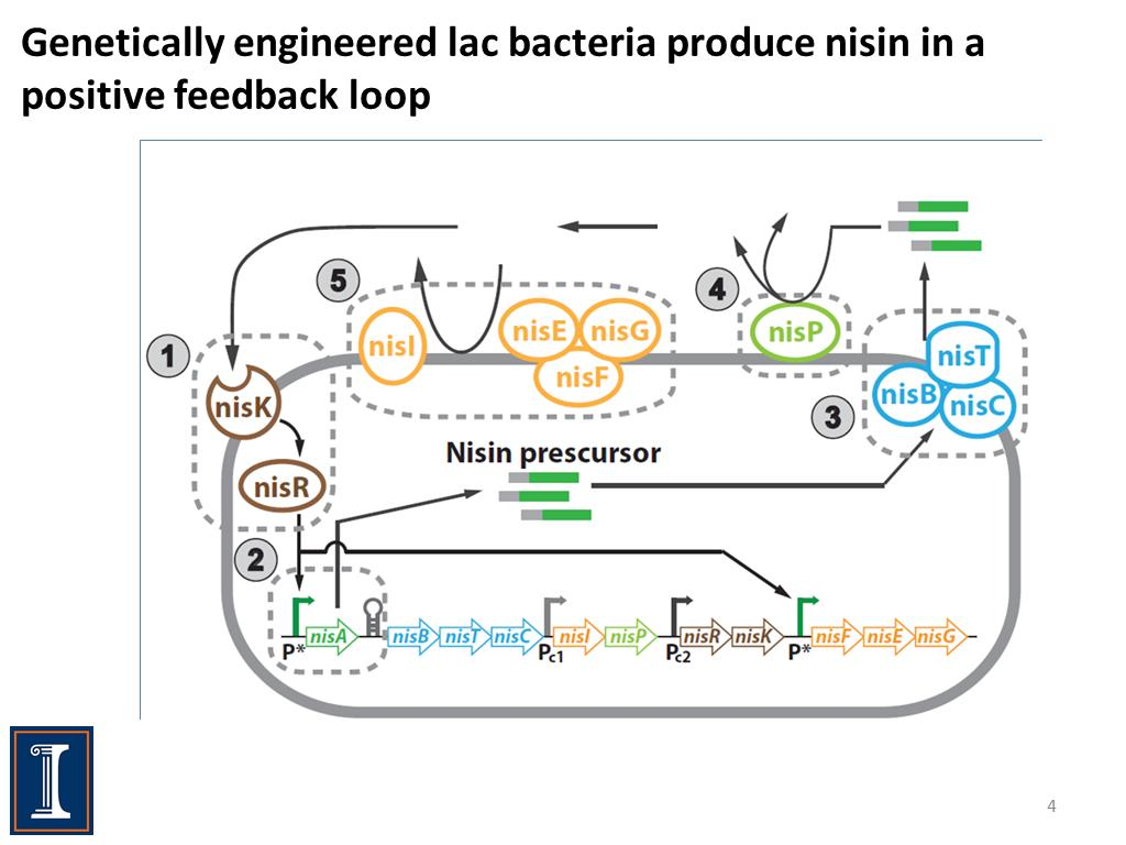 Genetically engineered lac bacteria produce nisin in a positive feedback loop