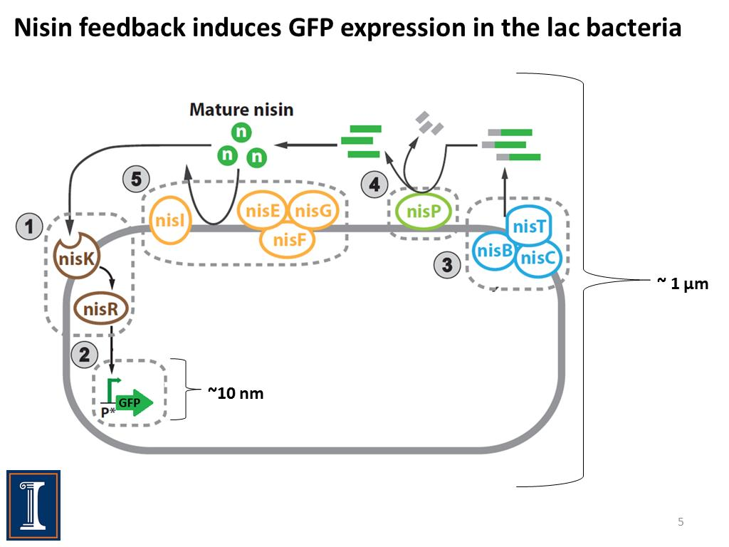 Nisin feedback induces GFP expression in the lac bacteria