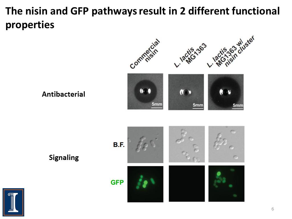 The nisin and GFP pathways result in 2 different functional properties