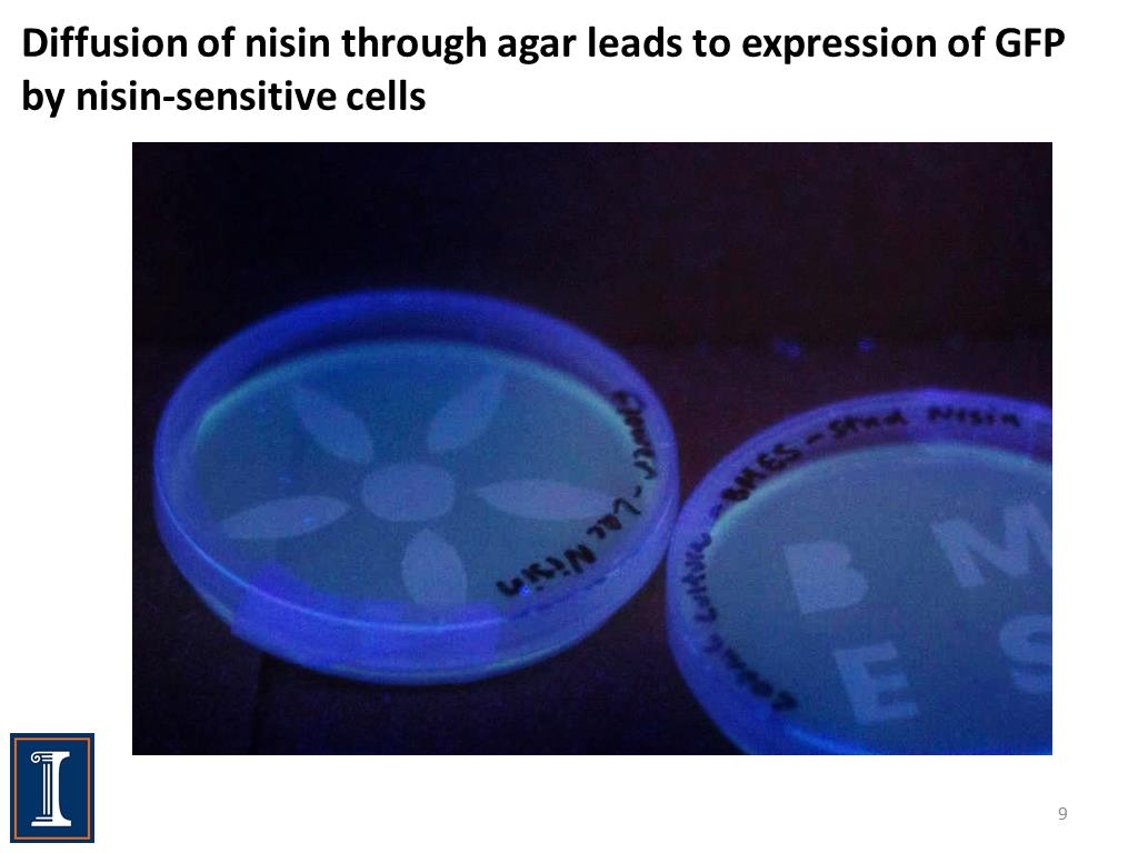 Diffusion of nisin through agar leads to expression of GFP by nisin-sensitive cells