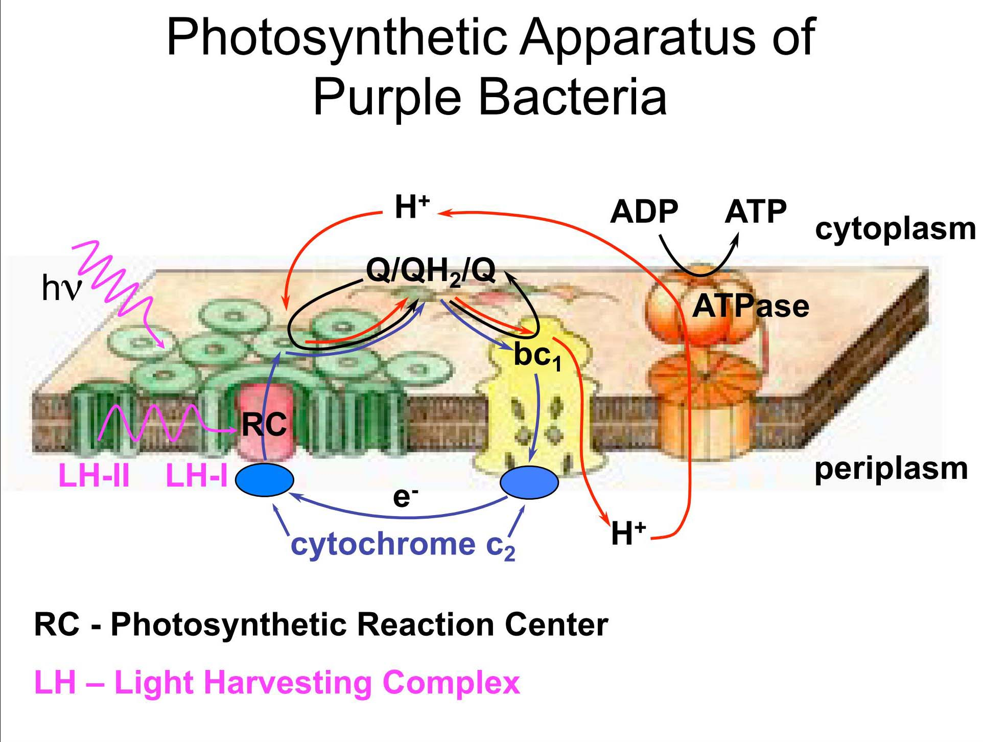 Photosynthetic Apparatus of Purple Bacteria