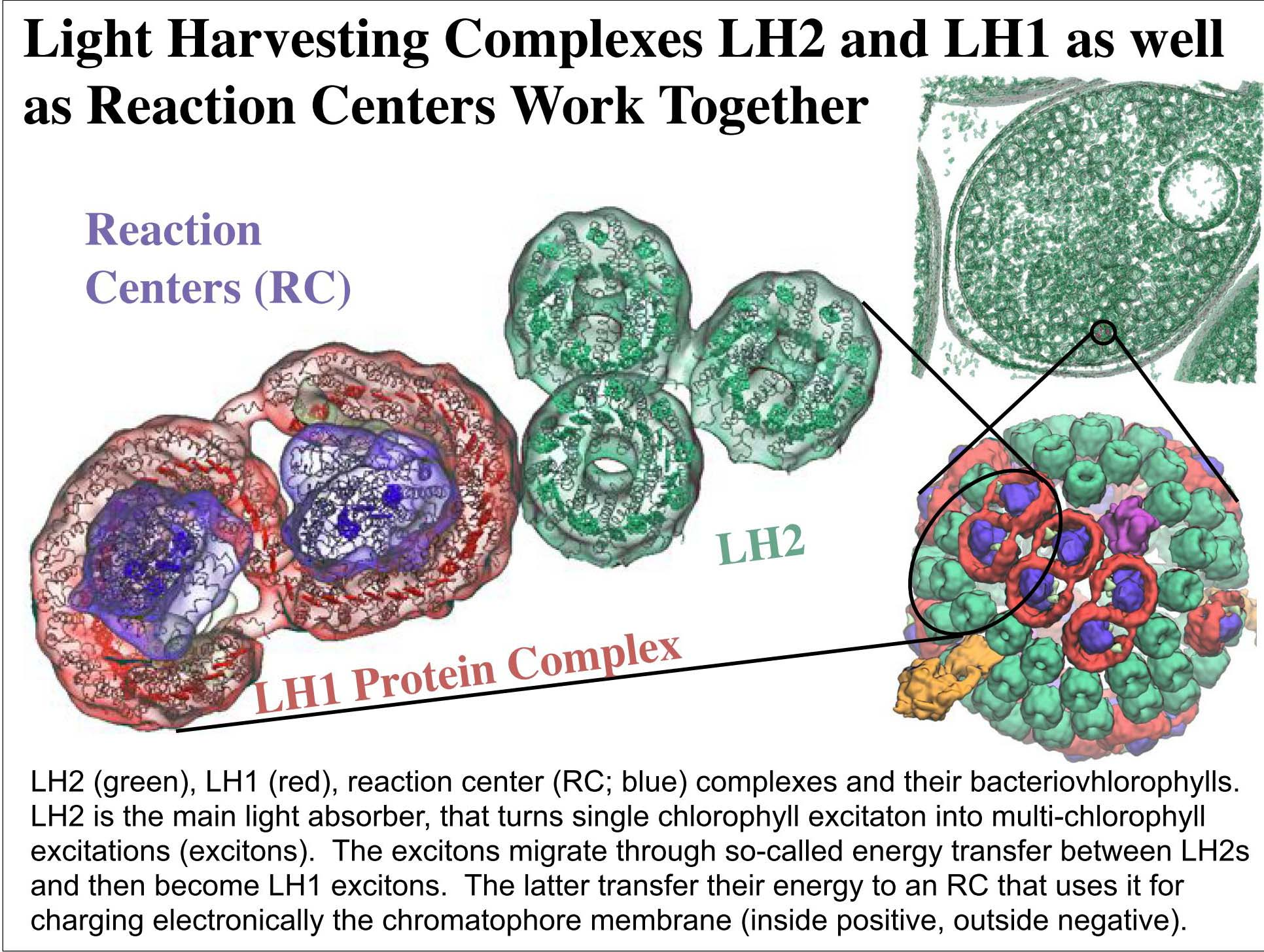 Light Harvesting Complexes LH2 and LH1 as well as Reaction Centers work together