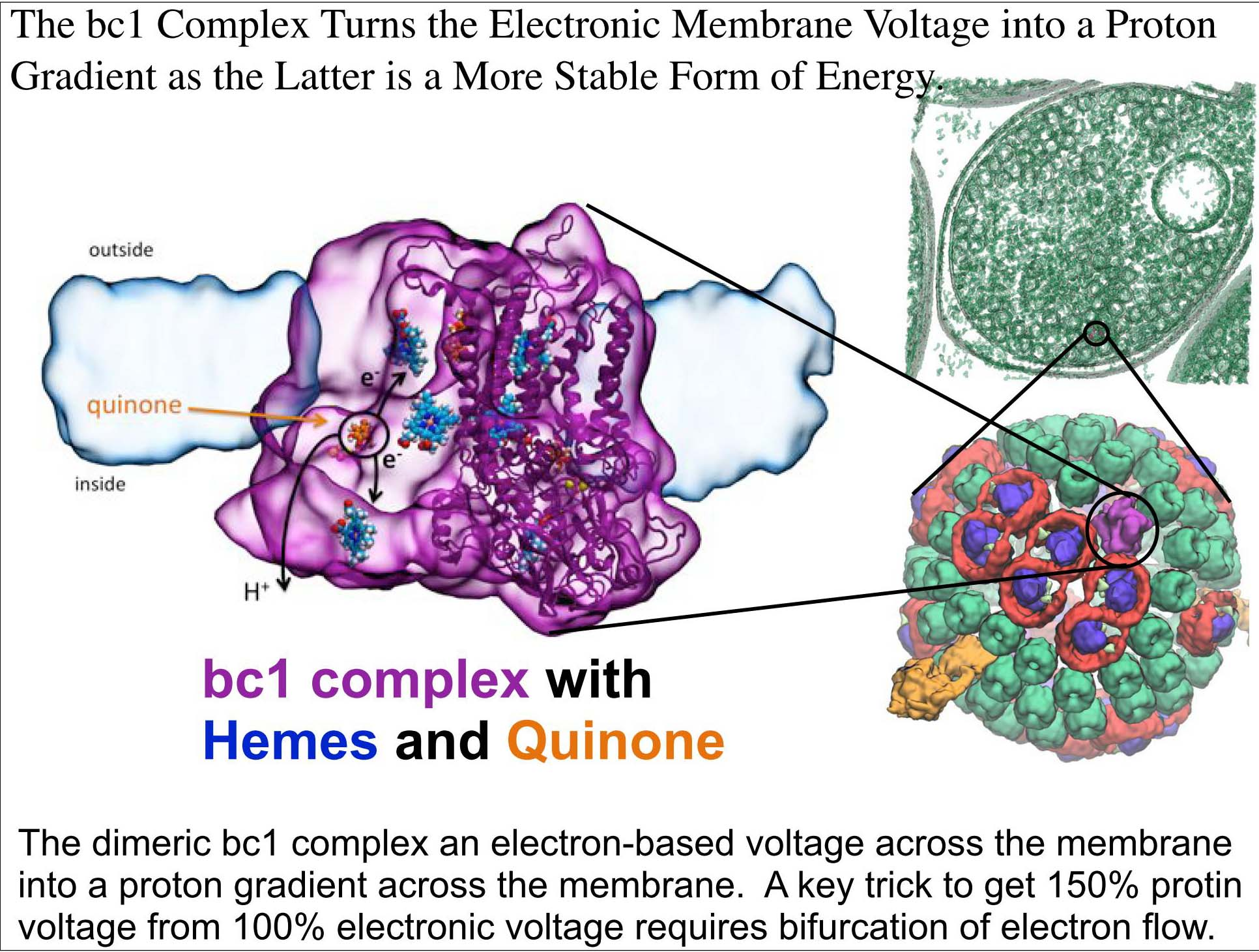 The bc1 Complex Turns the Electronic Membrane Voltage into a Proton Gradient as the Latter is a More Stable Form of Energy