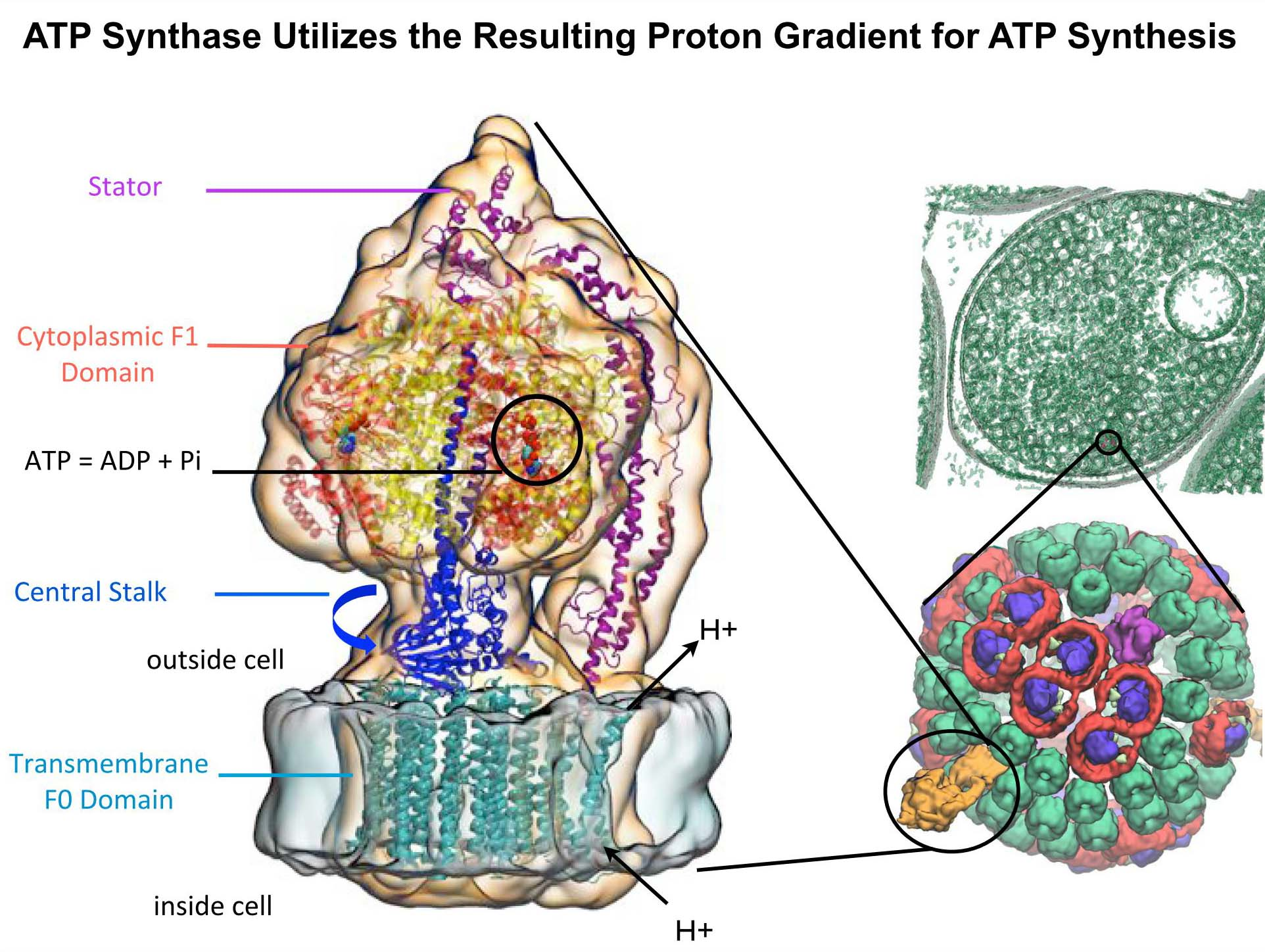 ATP Synthase
