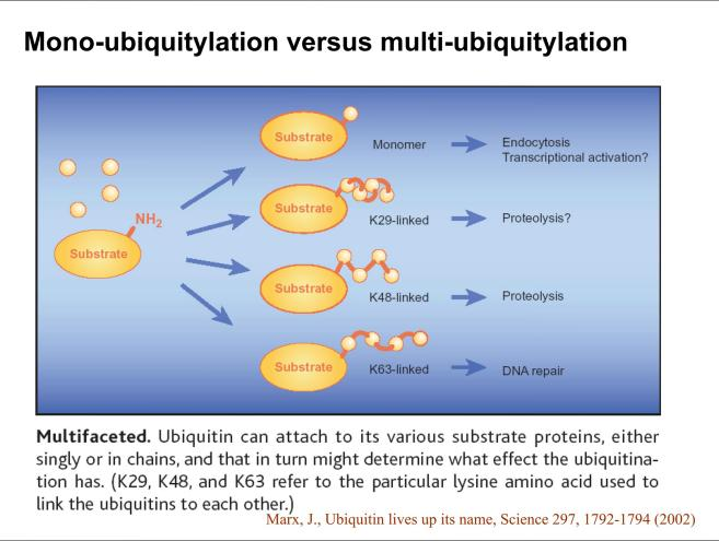 Mono-ubiquitylation versus multi-ubiquitylation