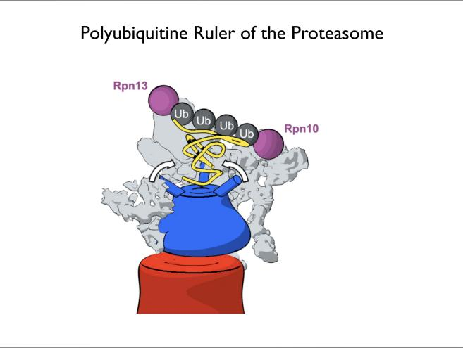 Polyubiquitine Ruler of the Proteasome