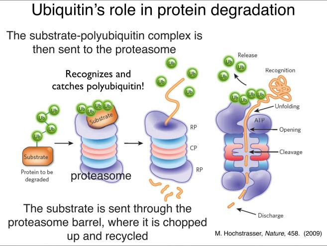Ubiquitin's role in protein degradation