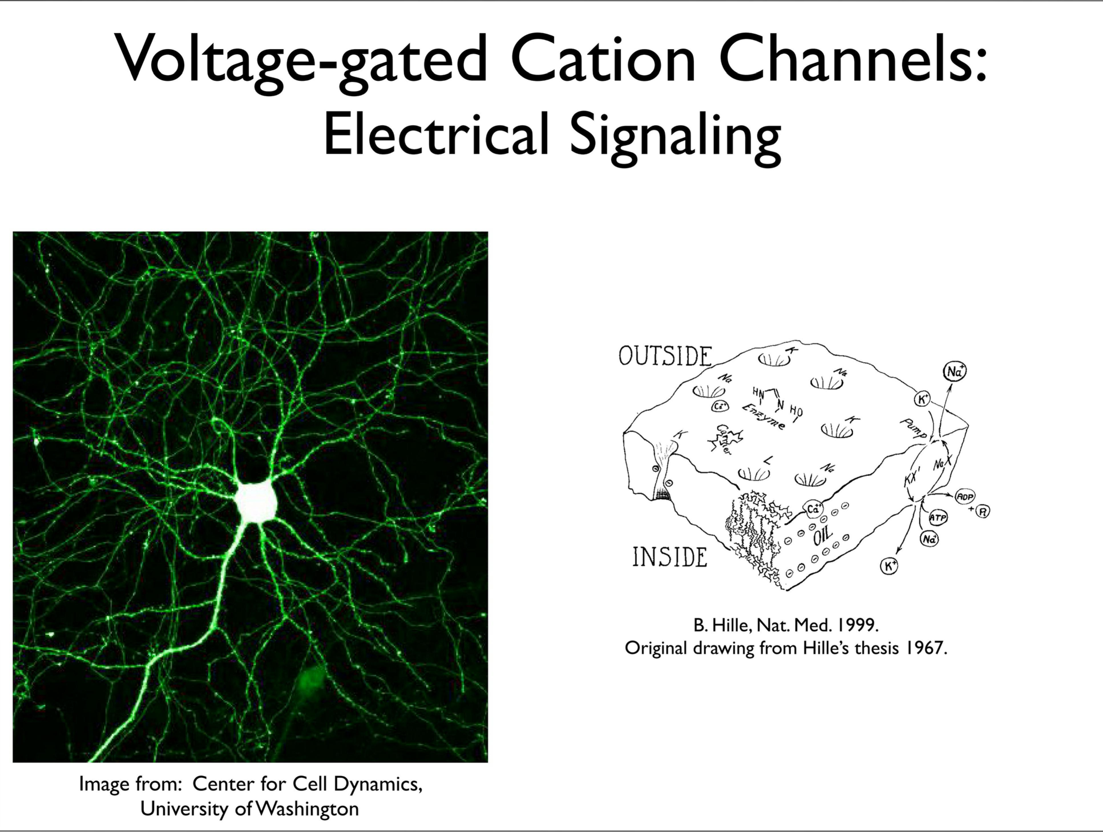 Slide 1: Voltage-gated Cation Channels: Electric Signaling