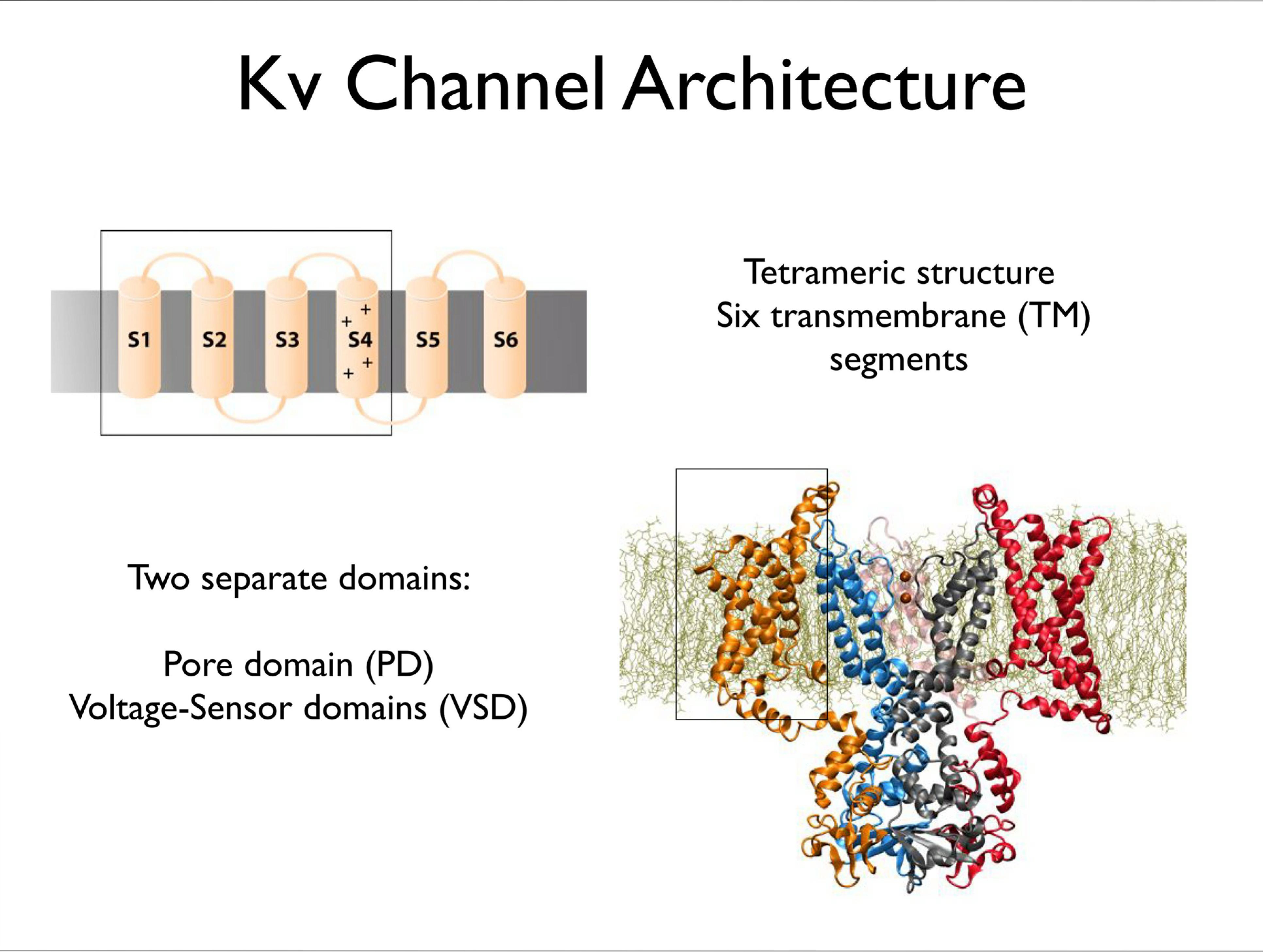 Slide 3: Kv Channel Architecture