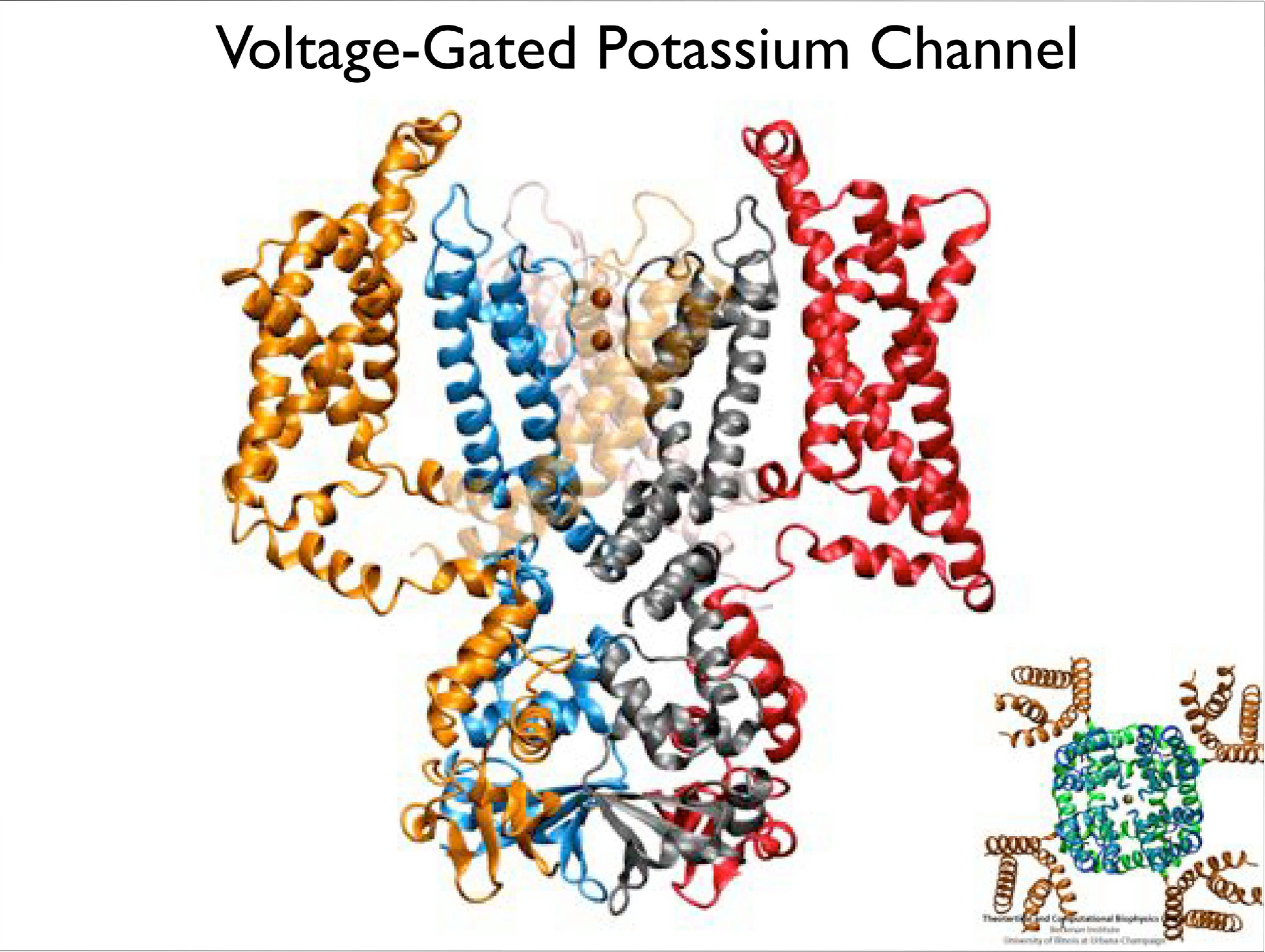 Slide 4: Voltage Gated Porassium Channel
