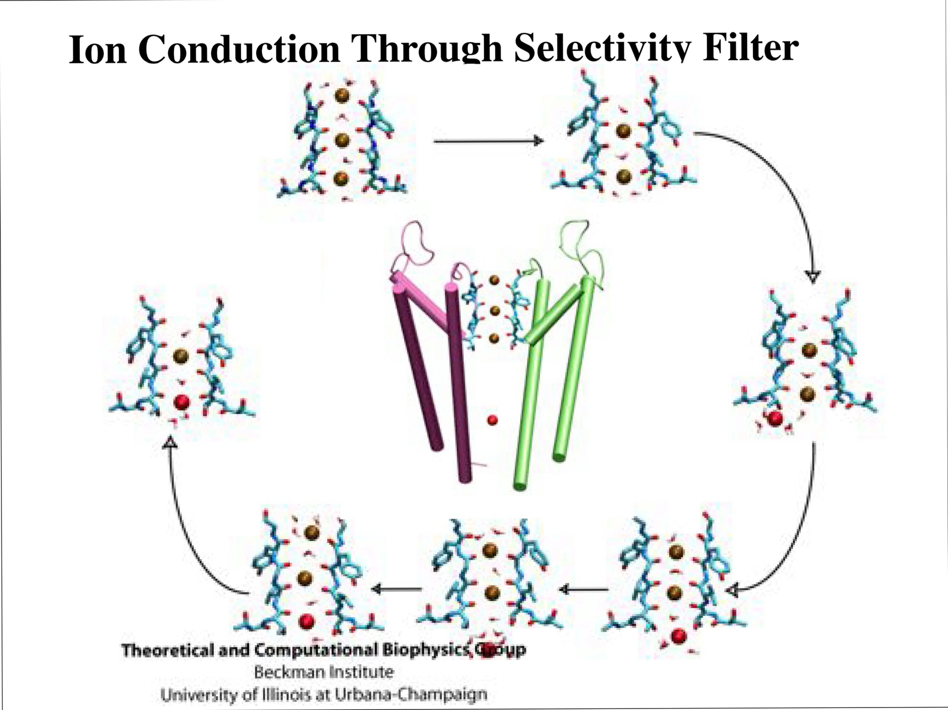 Slide 6: Ion Conduction Through Selectivity Filter