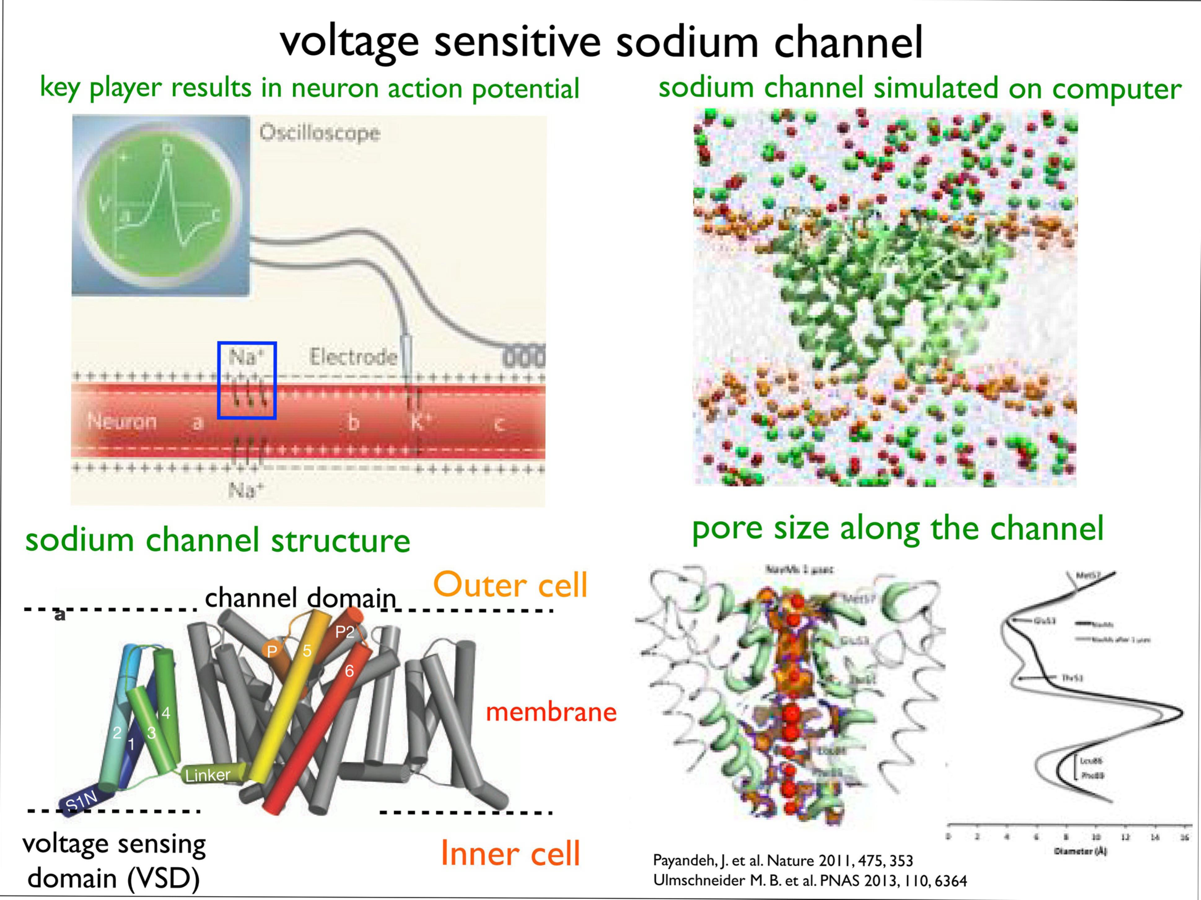 Slide 11: Voltage Sensitive Sodium Channel