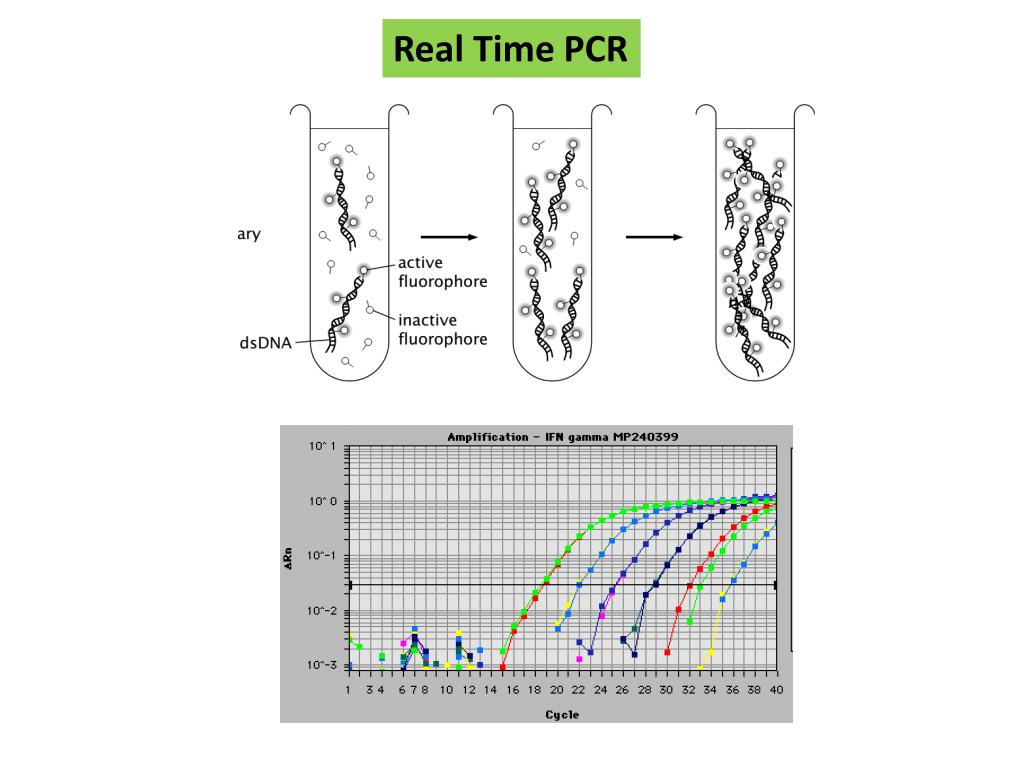 real time pcr thesis 4 pvl gene can be sub-typed using an allele-specific real-time pcr (rt-pcr) followed by high resolution meltanalysis this allows the identification of pvl subtypes.