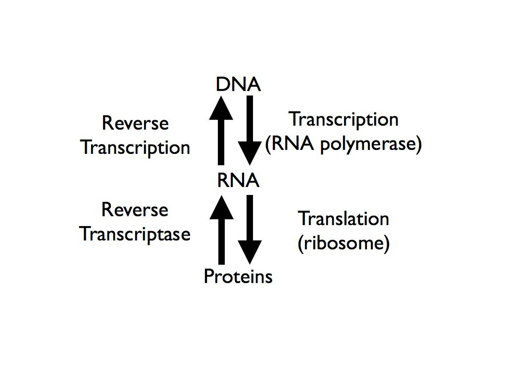 central dogma paper The central dogma was first stated by francis crick in 1956, before later being re-stated in the paper â natureâ which was published in 1970 â the central dogma of molecular biology deals with the detailed residue-by-residue transfer of sequential information.