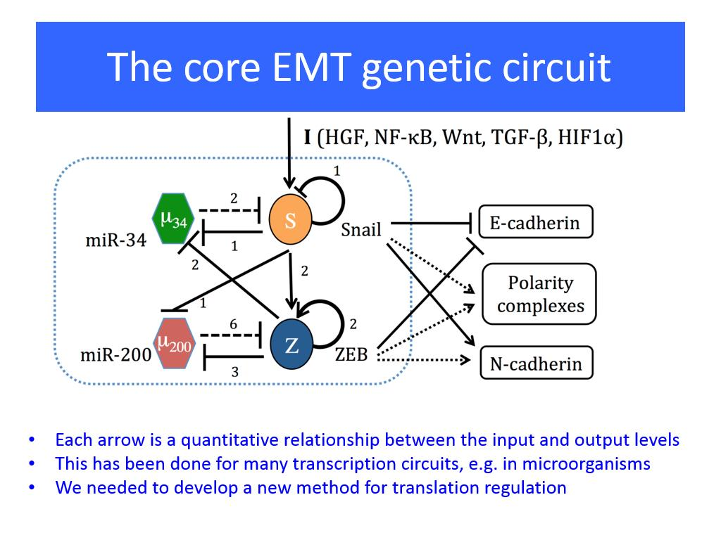 The core EMT genetic circuit