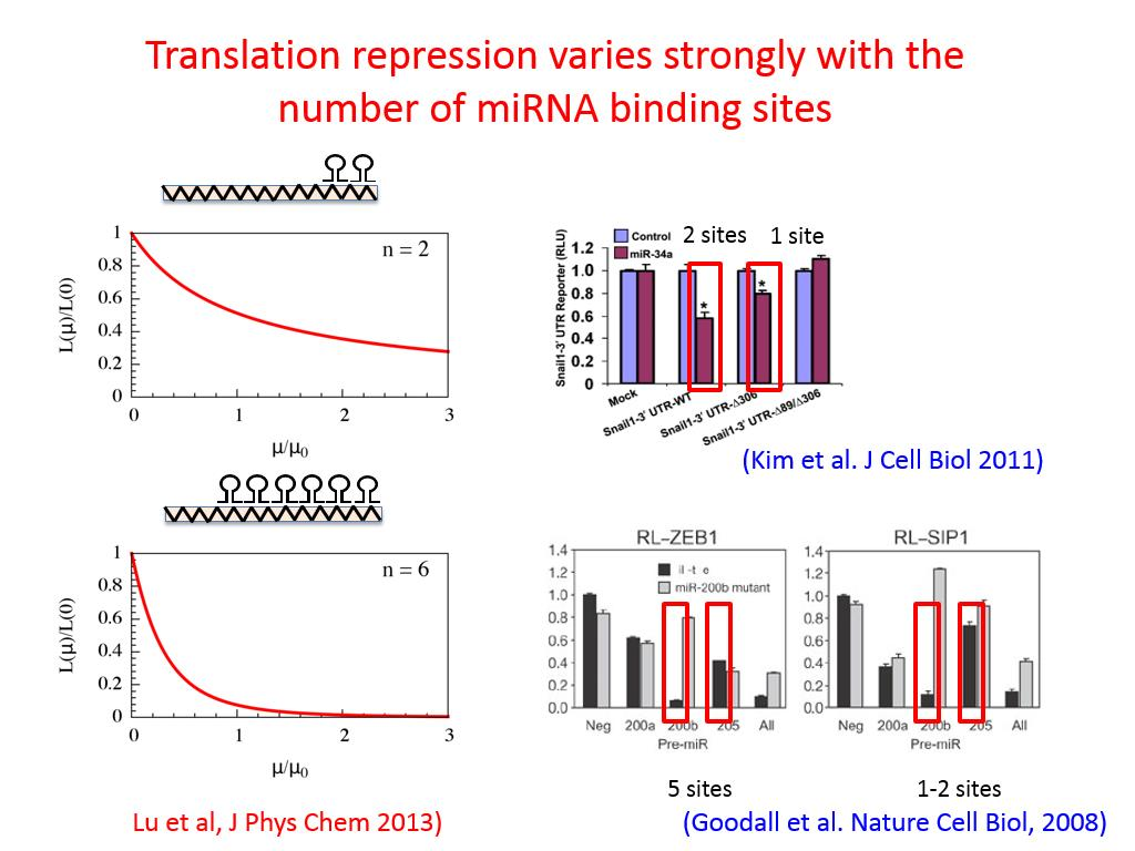 Translation repression varies strongly with the number of miRNA binding sites