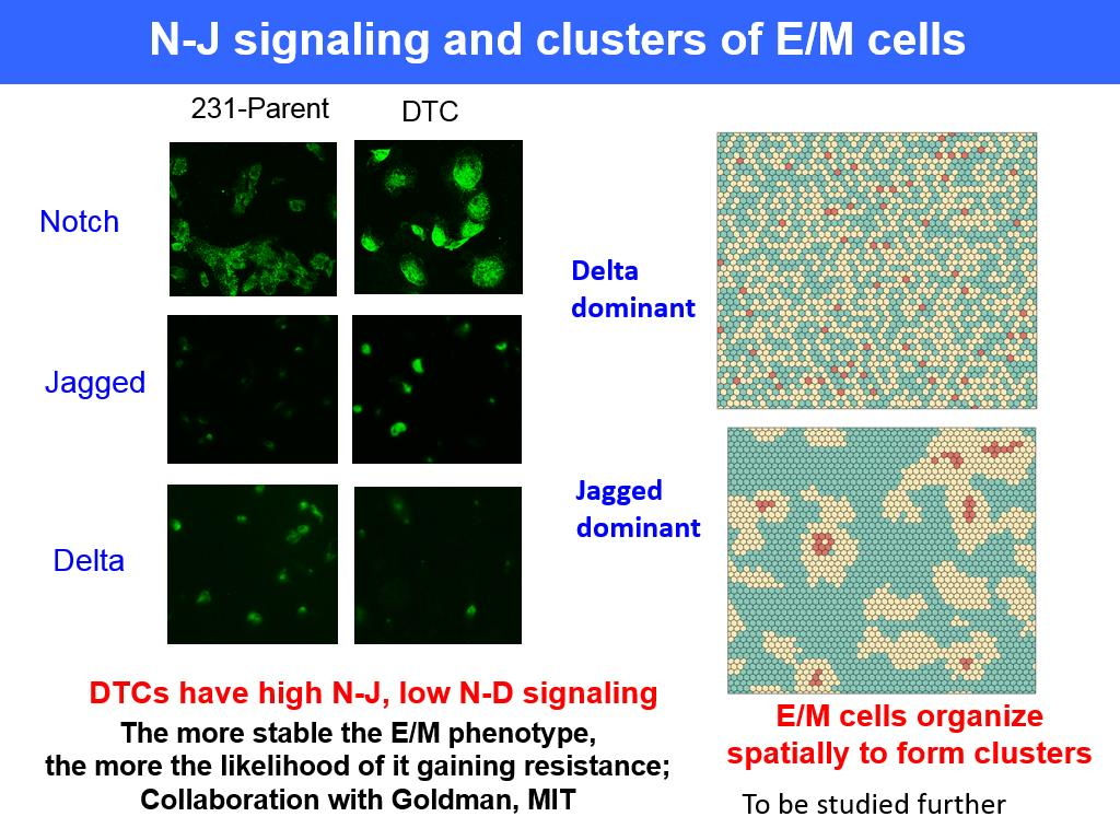 N-J signaling and clusters of E/M cells