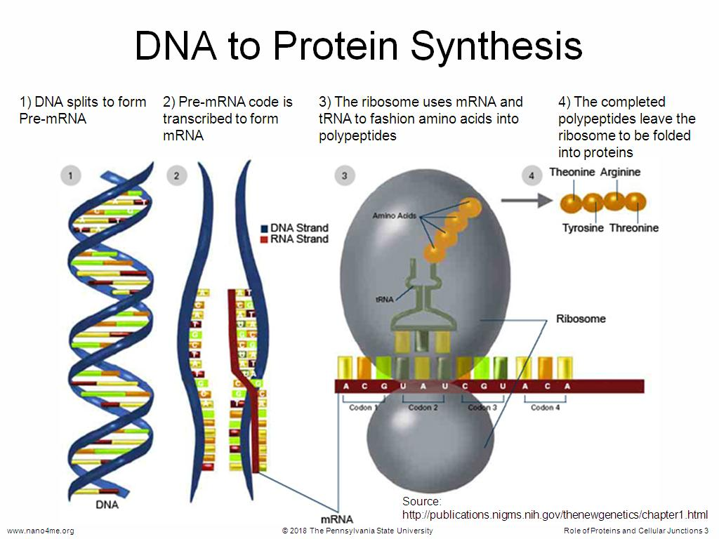 DNA to Protein Synthesis